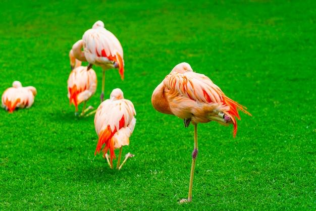 公園の芝生の上の美しいフラミンゴグループのクローズアップ