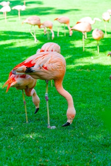 草の中の食べ物を探して美しいフラミンゴグループのクローズアップ