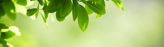 美しい自然のクローズアップは、背景の表紙の概念として使用してコピースペースと庭のぼやけた緑の背景に緑の葉を表示します。