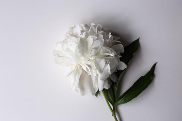 Крупным планом красивые розовые и белые пионы цветок на светлой поверхности