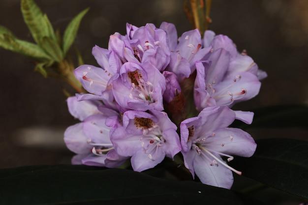 公園に咲く美しいシャクナゲの花のクローズアップ
