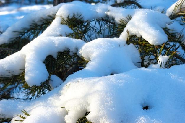 겨울철에 눈이 덮여 아름다운 부드러운 눈 덮인 전나무 가지의 근접 촬영
