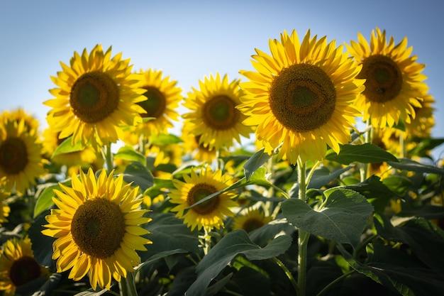 Крупным планом красивых подсолнухов в поле подсолнечника