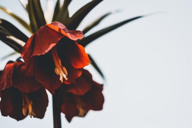 Крупным планом красивых диких красных лилий на белом фоне