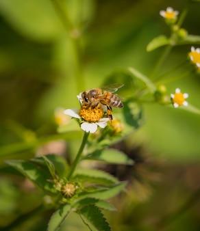 필드에 흰 꽃의 꽃가루를 먹는 꿀벌의 근접 촬영