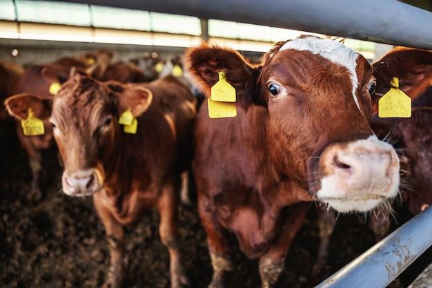 厩舎での牛肉のクローズアップは多くの牛肉です