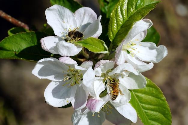 晴れた日に白い桜の花から蜜を集めるミツバチのクローズアップ