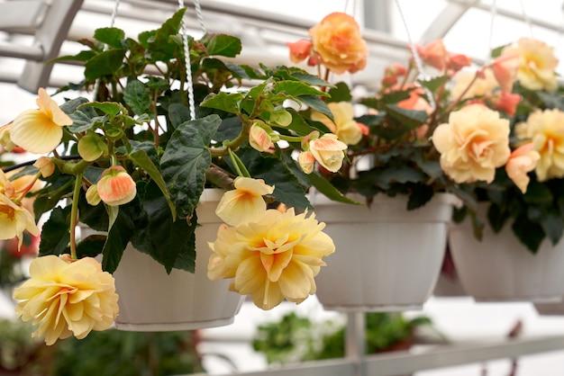 温室で撮影された、美しい大きな黄色い花と濃い緑色の葉を持つ白い鉢のベゴニア植物のクローズアップ。美しい花とモダンな大きな温室のコンセプト。