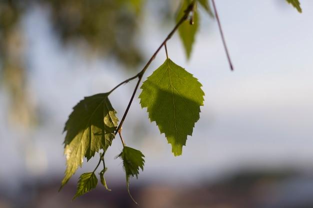 자작 나무 녹색의 근접 촬영은 밝은 흐린 하늘색에 화창한 봄 또는 여름 날에 야외에서 성장하는 잎