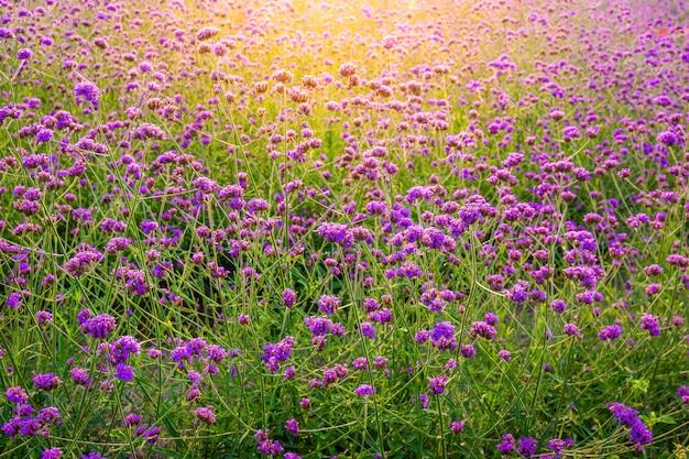 山に咲くラベンダーの花のフィールドの背景のクローズアップ
