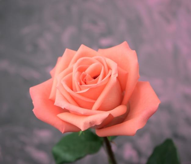 手描きのアートワークの背景とオレンジピンクのバラの咲く色合いのクローズアップ