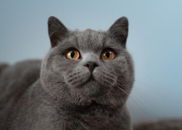 블루 브리티시 쇼트헤어 고양이의 근접 촬영