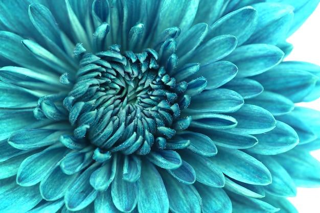 Крупным планом синий цветок хризантемы