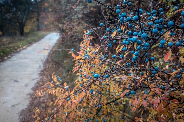 雨の間のブルーベリーの茂みのクローズアップ