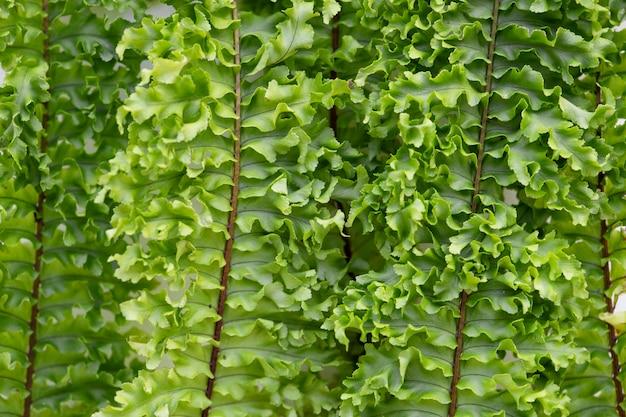 Бостонские листья папоротника крупным планом