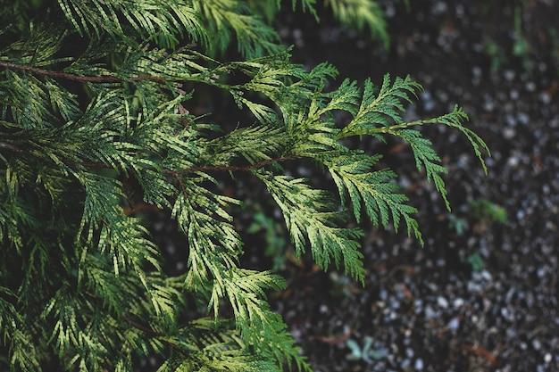 Крупным планом ярко-зеленые ветви туи с сфокусированными и размытыми частями на темном фоне земли.