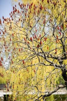 秋の間に滑らかなスマックまたはrhus glabraの木の真っ赤な果物のクローズアップ。植物やハーブの概念。