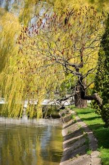 秋の間に滑らかなスマックまたはrhus glabraの木の真っ赤な果物のクローズアップ。湖の素敵なシュート。植物やハーブの概念。自然の概念。