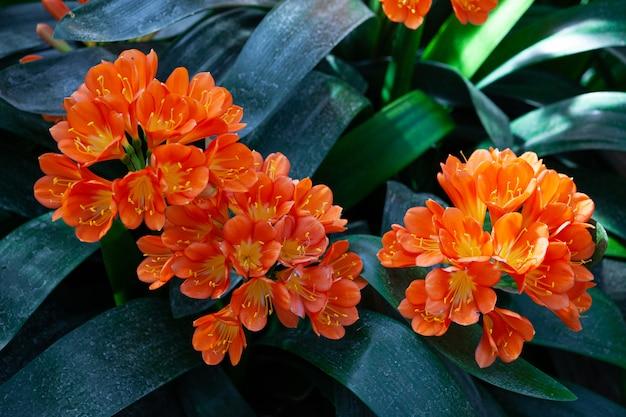 Крупный план ярких желтых и оранжевых цветков лилии куста принятых в сад. другие названия - clivia miniata и натальная лилия.