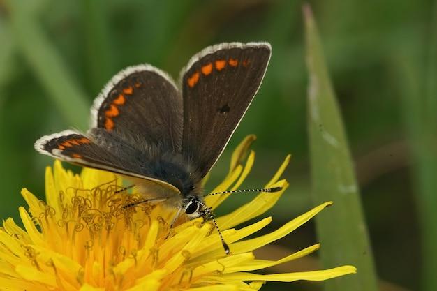 민들레의 노란 꽃에 날개가 열린 갈색 아르거스(aricia agetis)의 근접 촬영