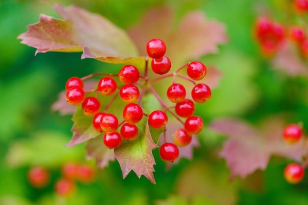 Guelder 장미 또는 viburnum의 붉은 열매의 움 큼의 근접 촬영. 여름 시즌이 끝날 때 맑은 날에 관목.