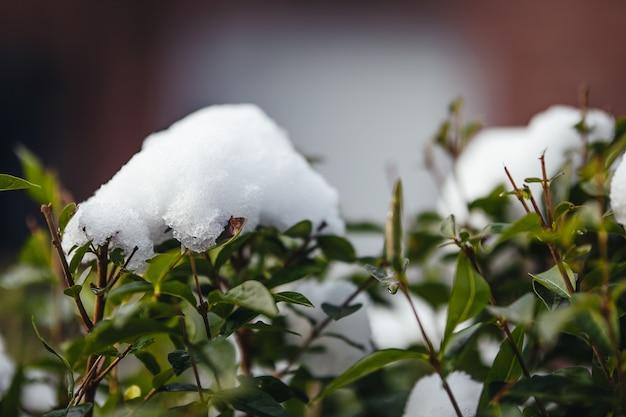 흐린 녹지로 햇빛 아래 눈으로 덮인 덤불의 근접 촬영