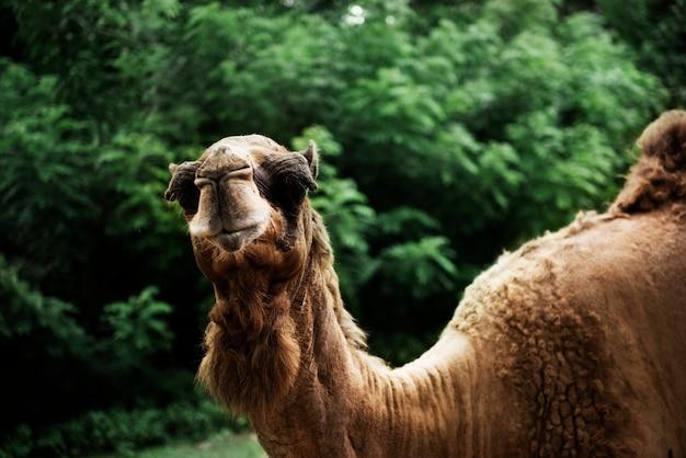 Макрофотография верблюда в зоопарке