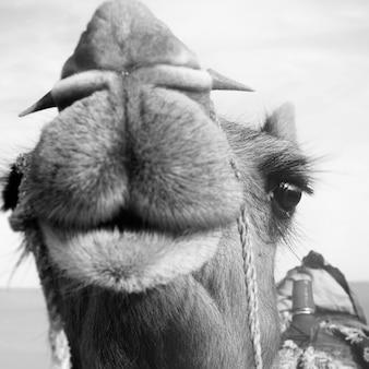 Макрофотография верблюдов в оттенках серого