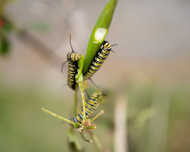 흐릿한 배경을 가진 햇빛 아래 들판의 나뭇잎에 있는 애벌레의 근접 촬영