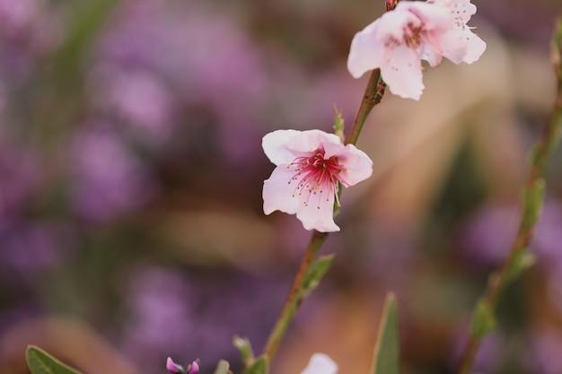 흐린 배경 정원에서 햇빛 아래 벚꽃의 근접 촬영