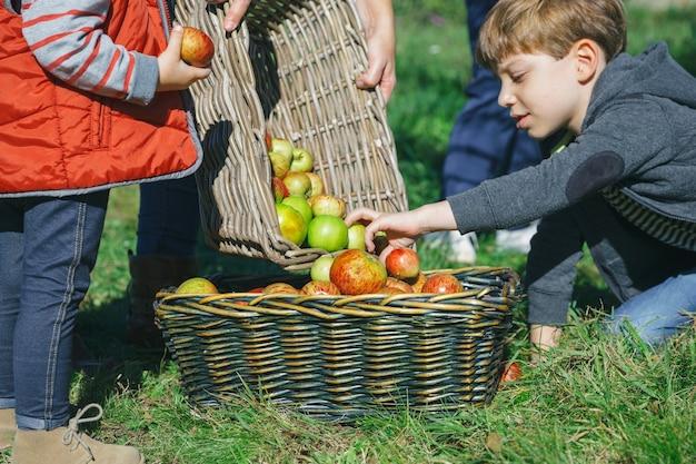 果物の収穫と籐のバスケットの中に新鮮な有機リンゴを入れている子供のクローズアップ。自然と家族の概念。