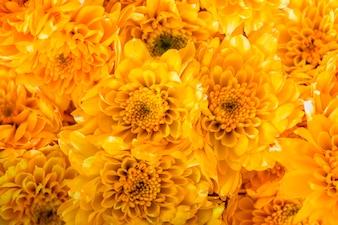 Closeup of chrysanthemum textured background