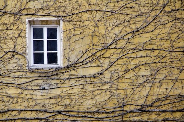 대낮에 창문이 있는 노란색 벽에 있는 등반 식물의 클로즈업