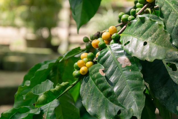Крупный план кофейных зерен на ветвях деревьев в поле