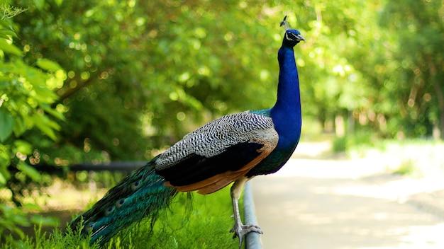 Крупным планом красочные красивые павлин птицы с перьями павлин крупным планом портрет