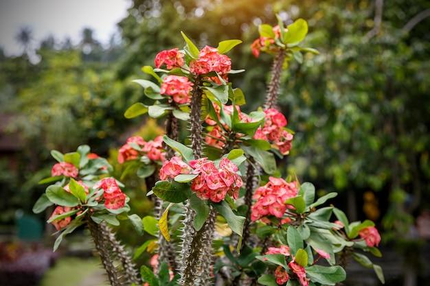 いばらの冠の赤い花のクローズアップ。