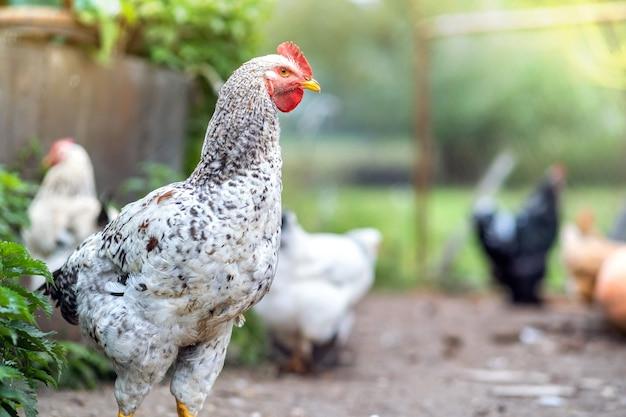 伝統的な田舎の納屋を食べている国産鶏のクローズアップ。エコファームの納屋の庭の鶏。放し飼いの養鶏のコンセプト。