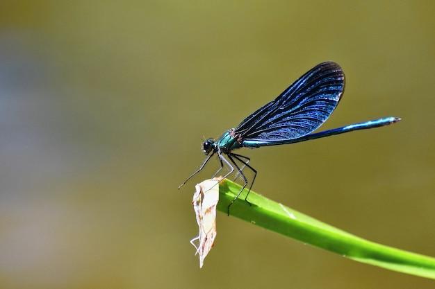 Макрофотография стрекоза calopteryx девственник