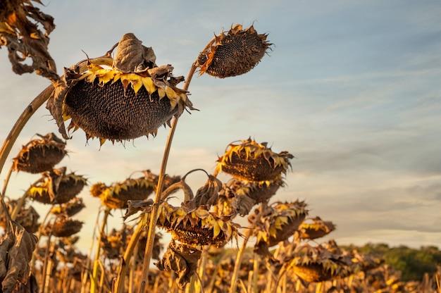 晴れた日に収穫を待っている乾燥した熟したヒマワリのクローズアップ