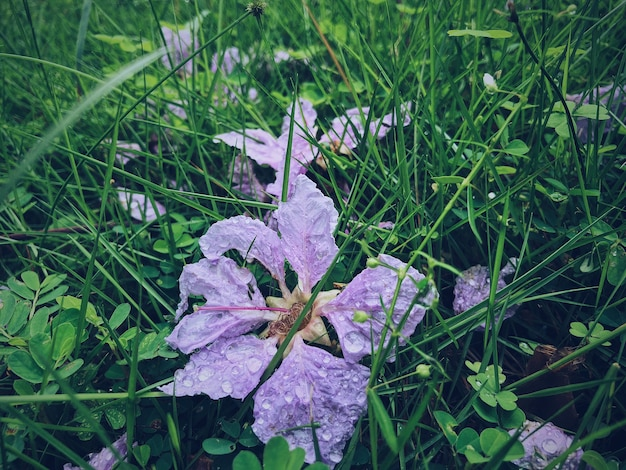 日光の下でフィールドの草の上の水滴で覆われた乾燥したツルニチニチソウのクローズアップ