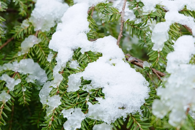Крупным планом вечнозеленые листья, покрытые снегом под солнечным светом