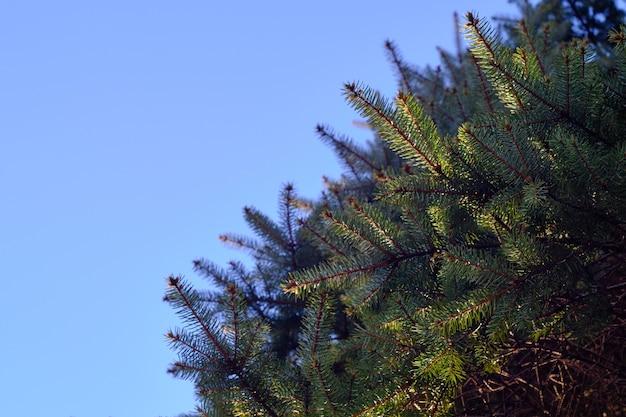 日光の下で常緑の葉とぼやけた背景の青い空のクローズアップ