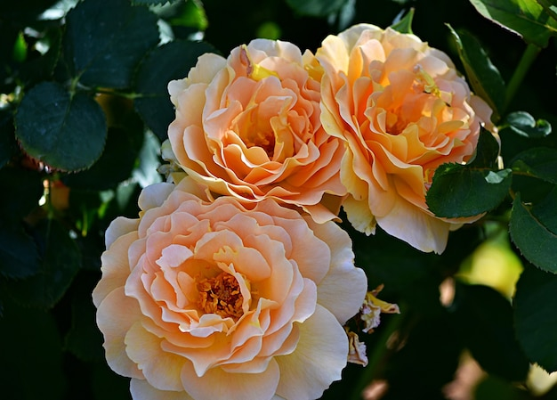 日光の下で庭に常緑のバラのクローズアップ