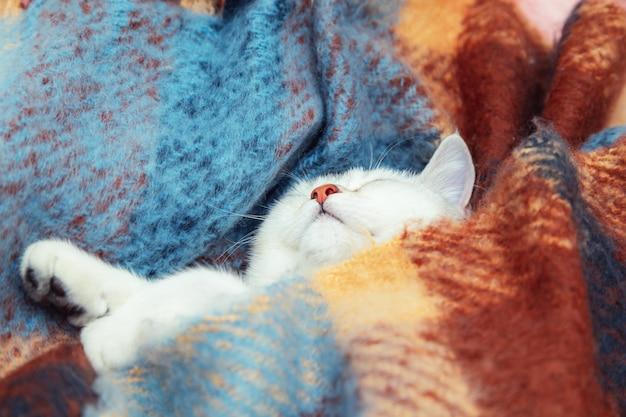 顔のクローズアップかわいい英国のチンチラ猫子猫は暖かい色の毛布に包まれて眠る冬の寒さ