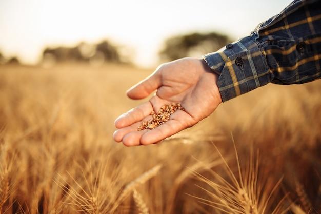 Крупным планом руки фермеров со спелыми золотыми зернами