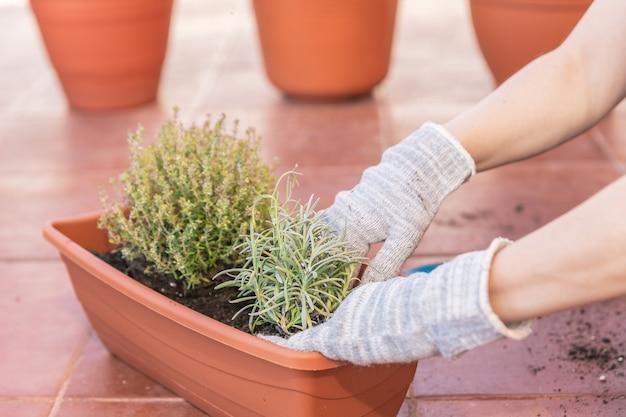집의 테라스에 냄비에 라벤더와 백리향을 심는 천 장갑과 여성 손의 근접 촬영