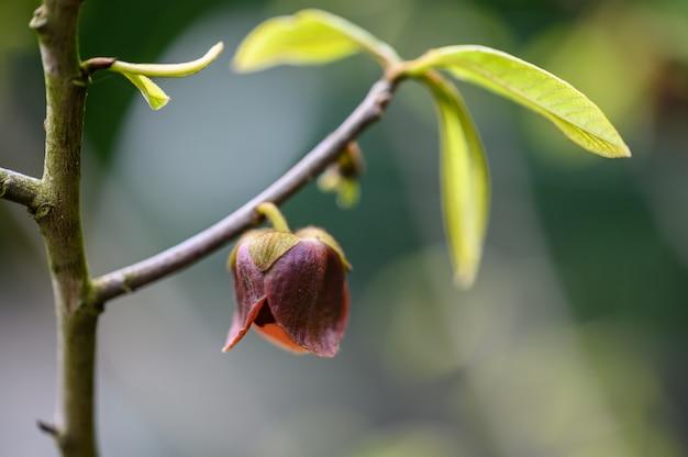 春のアシミナの木の花のつぼみのクローズアップ。