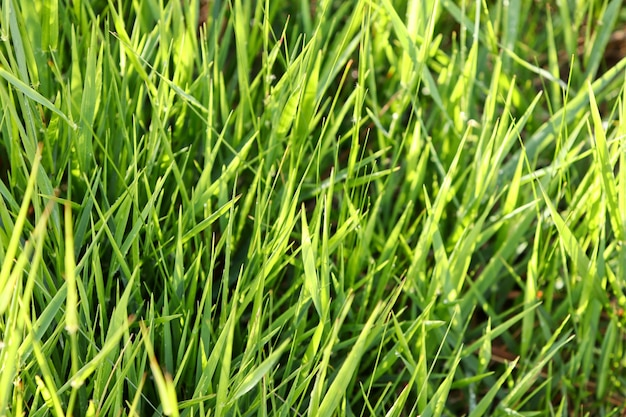 Крупным планом свежей зеленой травы