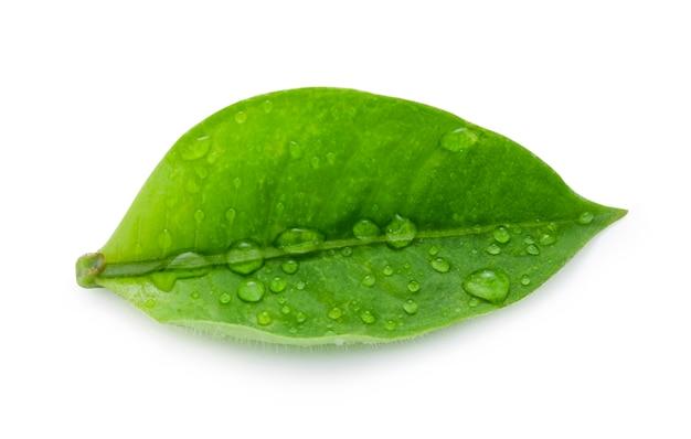 白い背景の上の水滴を持つ新鮮な緑の葉のクローズアップ。分離し、クリッピングパスの写真。