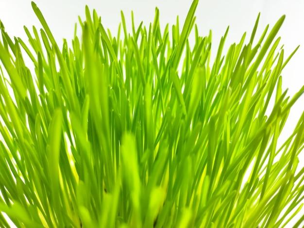 ポットの新鮮な緑の小麦草植物のクローズアップ。抗酸化飲料を作るための生の小麦草植物。ペットの植物を食べる人に適した若い植物